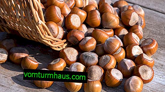 Lagerung von Haselnüssen: Merkmale, Haltbarkeit von Nüssen