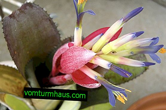 Bilbergia flower: home care
