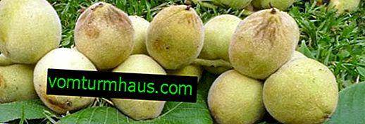 Funkcie pestovania manchúrskeho vlašského orecha v Uralu