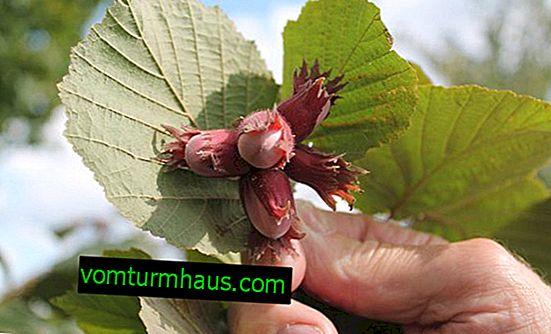 Šíření lískových ořechů řízky