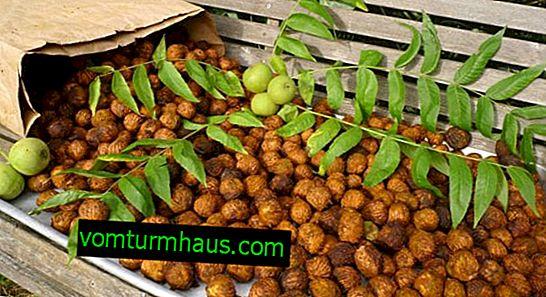 Izbor sort in gojenje manchurijskega oreha v predmestjih