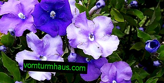 Brunfelsia: home care