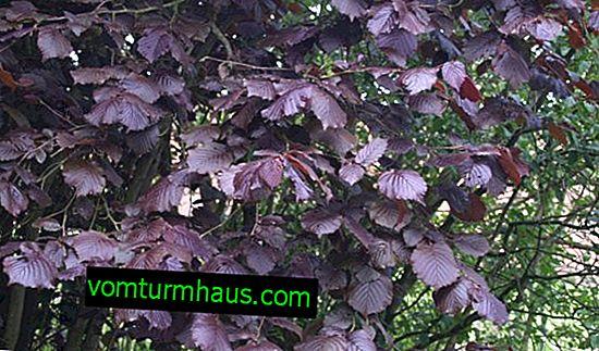Purpurea hazelinin tanımı: yetiştiriciliğin ve bakımın özellikleri