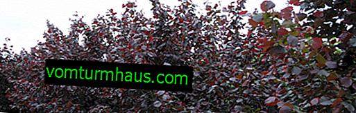 Beschreibung der Hasel Fuskorubra und Anbau Merkmale