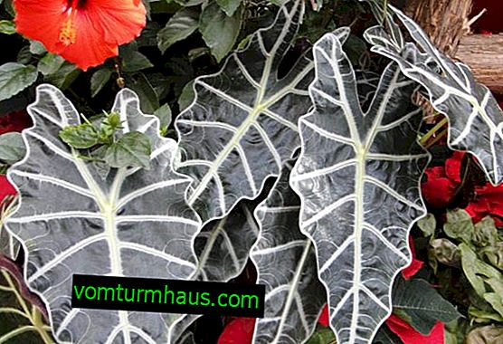 How to care for Polly's alocasia at home