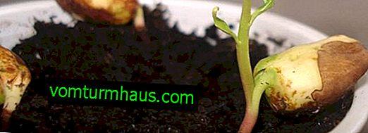 Pěstování mandlí ze semen, přesazování do země a další péče