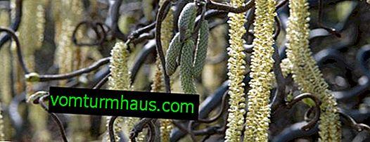 Descrizione della nocciola contorta e caratteristiche della sua coltivazione