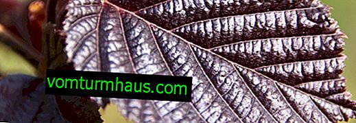 Vlastnosti pěstování lískových oříšků (lískových oříšků)