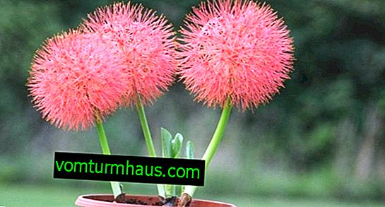 Hemanthus: description of species, care and breeding at home