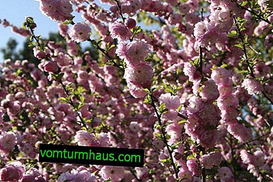 Louiseania, trebladig mandel - beskrivning och egenskaper