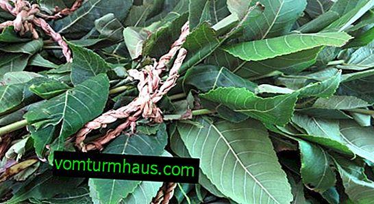 Koristi in škoda listov črnega oreha
