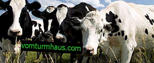 Kako liječiti apsces u kravi