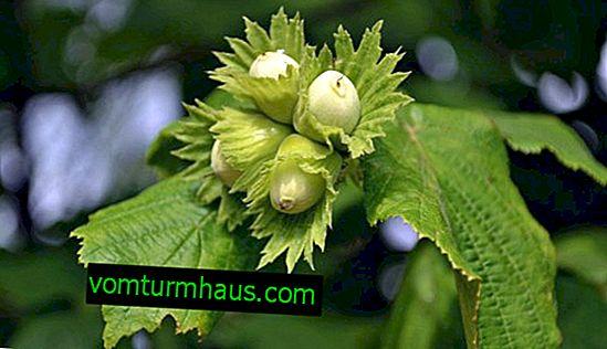 Как и как да храним лешници през лятото