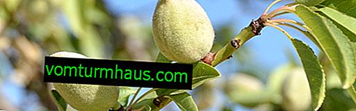 Popis mandlového stromu a vlastnosti jeho pěstování
