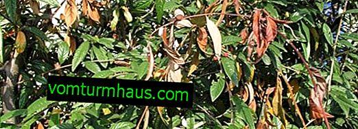 Léčba mandlí na nemoci