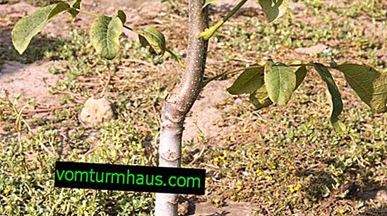 Plántulas de siembra de nueces