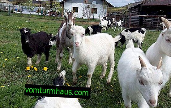 Koza Lamancha: opis pasme, značilnosti vzreje in krmljenja