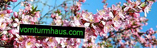 Regras de amêndoas decorativas, plantio, cuidados e poda