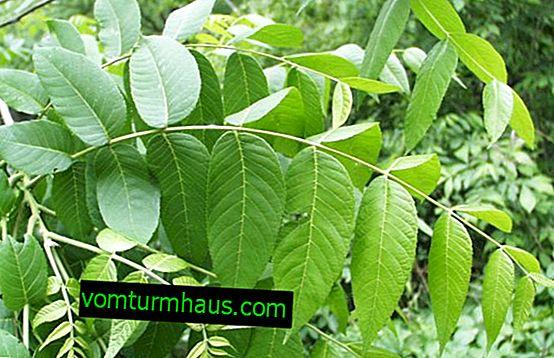 Listy vlašských ořechů: jak sušit a za jakým účelem