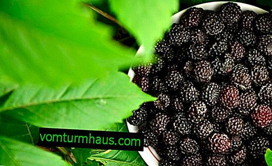 Hvordan ser sort hindbær ud, typer, funktioner i dyrkning, produktivitet