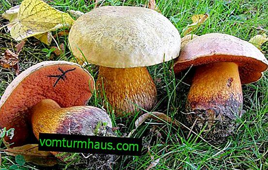 Dąb Oliwkowo-brązowy: wygląd i struktura, toksyczność