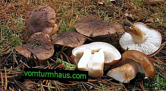 Beskrivelse og anvendelse af svampen