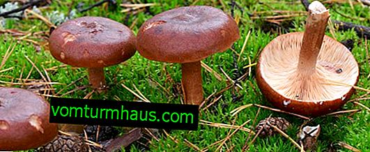 Description of the fungus bitter, features of use, the benefits and harms of mushrooms