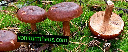 Beskrivelse af svampen bitter, egenskaber ved brug, fordelene og skadene ved svampe