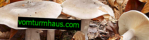 Description and features of the use of gray talker mushroom