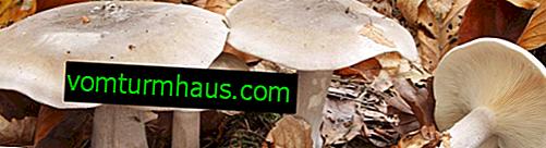 Opis i cechy zastosowania szarego grzyba mówczego