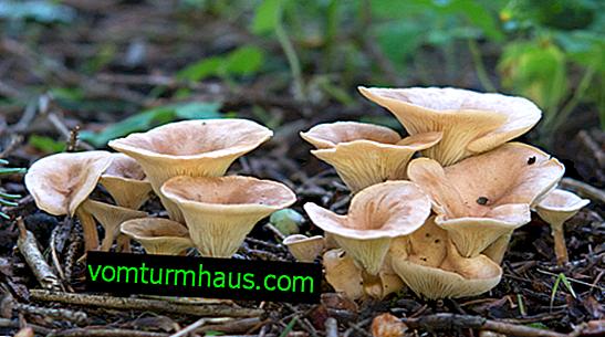 Beskrivelse og funktioner ved brugen af svampegovorushka-tragt
