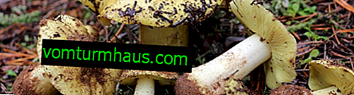 Description of greenfinch mushroom, benefits and harms, especially