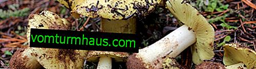 Beskrivelse af grønfinksvamp, fordele og skader, især