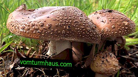 Grå-lyserød (perle) spiselig fluevarke: hvor den vokser, hvordan man skelner fra giftige svampe