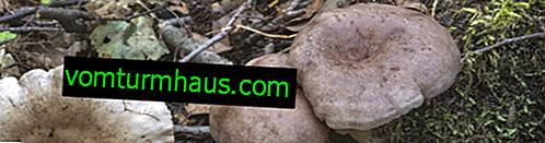 Beskrivelse af Serushka-svampe