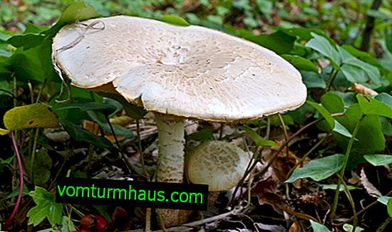 Sleeping mushroom (Lentinus lepideus)