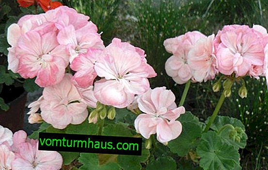 Pelargonium zonal: home care