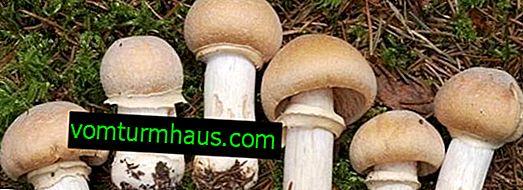 Ringformet svampehætte, beskrivelse