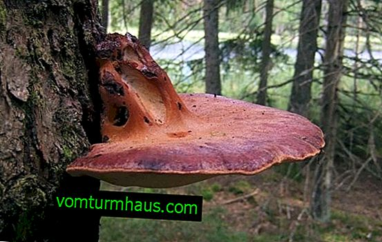 What does hepatic fungus or liverwort look like