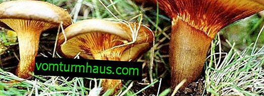 Deadly poisonous mushroom pig thin