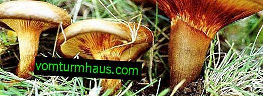 Dødeligt giftig svampegris tynd