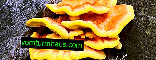 Polypore sulphur-yellow: description, usage médical, contre-indications