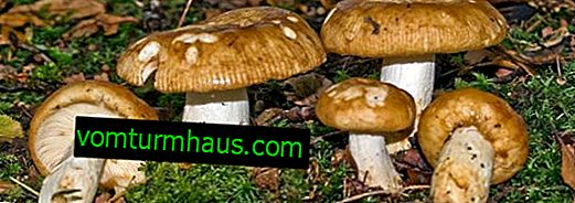 All about the mushroom value and the features of its use in cooking and medicine