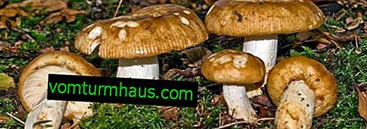 Alt om svampværdien og funktionerne ved dens anvendelse i madlavning og medicin