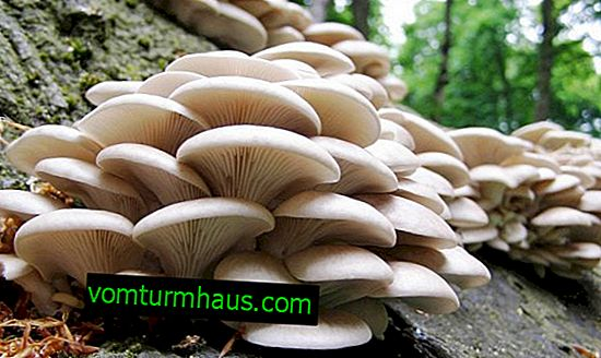 How easy and simple to clean, process oyster mushrooms
