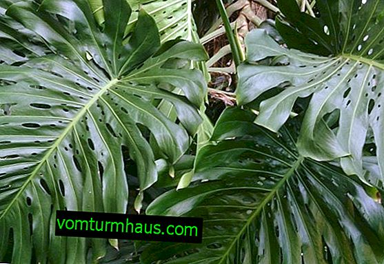 Care and reproduction of monstera at home
