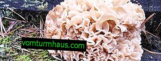 Къдрава спарасис (гъбено зеле): описание