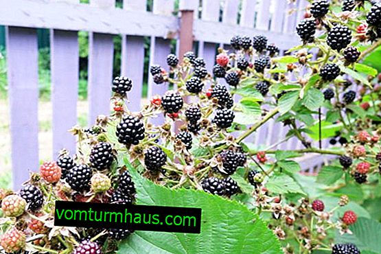 How to plant and grow blackberries on a personal plot
