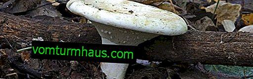 Pepparmint svamp: applicering och egenskaper