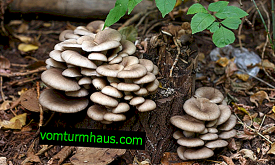 Ostrige gljive i njihove kolege u šumi, postoje li otrovne gljive kamenica, kako prepoznati prave